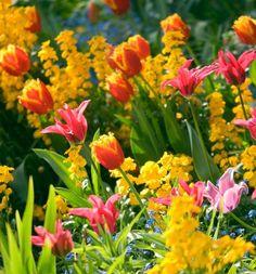Spring Combination Ideas, Bulb Combinations, Plant Combinations, Flowerbeds Ideas, Spring Borders, Purple Border, Tulip Davenport, Tulip Doll's Minuet, Erysimum; Myosotis Sylvatica, Forget-me-nots