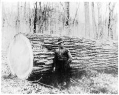 Guernsey Soil & Water Conservation District: The American Chestnut - fallen giant