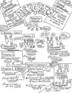 Mendel- Punnett Squares Genetics Sketch Notes W/Teacher's