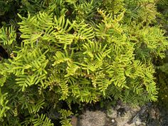Gleichenia alpina  commonly known as Alpine Coral-fern, is a small fern species that occurs in Tasmania and New Zealand