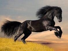Cavalo - Arabo-Friesian ou Frísio empinando.