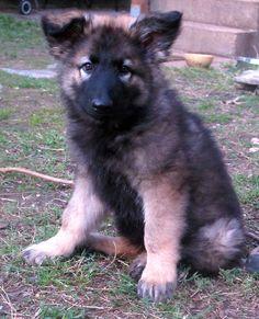 Shiloh Shepherd Dog Breed