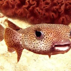 #porcupinefish #diving #oman #omandiving