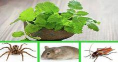 Si vous avez cette plante dans votre maison, vous ne verrez plus jamais ni de souris ni d'araignées ou d'autre insectes