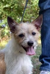 Lafayette is an adoptable Jack Russell Terrier (Parson Russell Terrier) Dog in Wolfe City, TX. ~~~~~~~~~~~~~~~~~~~~~~~~~~~~~~~~~~~~~~~~~~~~~~~~~~~~~~~ We are an all volunteer organization. All our pet...