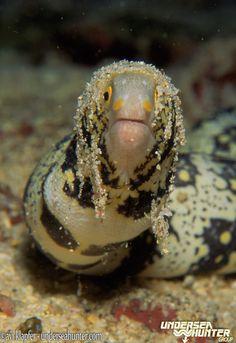 Starry Moray Eel - Cocos Island, Costa Rica    photo by Avi Klapfer - Underseahunter.com