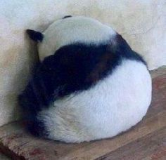 Panda in time out!