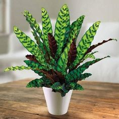 Rattlesnake Plants (Calathea lancifolia) are ornamental tropical house plants with heavily patterned leaves, purple undersides. Shop easy-to-grow plants online! Ornamental Plants, Foliage Plants, Planting Bulbs, Planting Flowers, Calathea Lancifolia, Shadow Plants, Calathea Plant, Plants For Sale Online, Prayer Plant