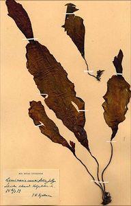 Ett litet exemplar av Laminaria cuneifolia från Koljutschin-ön utanför Pitlekaj insamlat 6 juli 1879 innan Vega tinat loss.