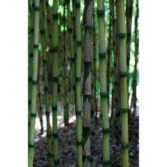 Bambou Chusquea couleou