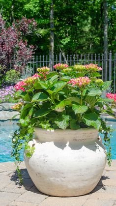How to grow hydrangeas in pots. growing pink hydrangea bushes in a pot with Bacopa and German Ivy How to grow hydrangeas in pots. growing pink hydrangea bushes in a pot with Bacopa and German Ivy Hydrangea Potted, Hydrangea Bush, Pink Hydrangea, Growing Hydrangea, Small Cottage Garden Ideas, Cottage Garden Plants, Garden Pots, Large Garden Planters, Container Plants