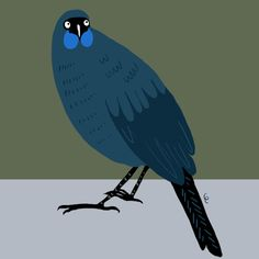 Black and blue—New Zealand's endemic kōkako. Illustration: Giselle Clarkson / www.giselledraws.com #nzbirds