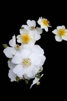 c00fd7d1b Cherokee Rose, Bloom Blossom, American Indians, Dahlia, Tattoo Inspiration,  Blossoms, Flower Power, Tulips, Georgia
