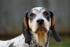 Coonhound | Perfect Breeds of Hunting Dogs As Your Companion