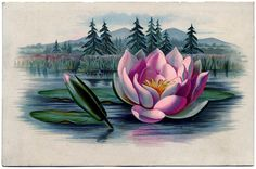 Vintage Graphic - Amazingly Beautiful Pink Water Lily - Lotus ...