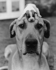 Great Dane parent and baby! This looks like Matilda my great dane english mastiff mix! She is fixed but I wish she could have pups!