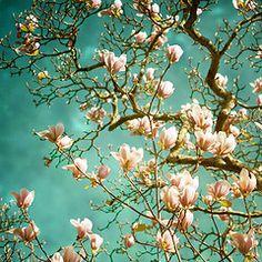 Magnolia Blossoms.    Van Goghish