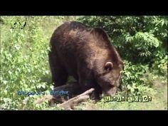 Wild peers - Brown bear - bruine beer - ursus arctos
