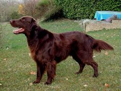 flat coated retriever | The Flat Coated Retriever developed in England from a mixing of Labs ...