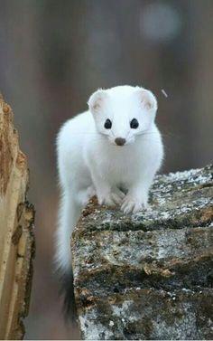 Cute lil weasel