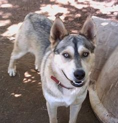 Bull, an American Indian Dog (not a wolf or coyote hybrid) -  From Song Dog Kennels.