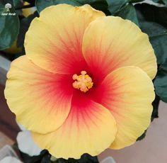 #vivaidealverde #flower #ibiscus