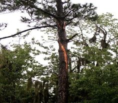 tree struck by lightning - Google Search