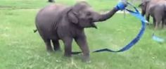Rescued Baby Elephant Dances With A Ribbon, Reminds Us To Cut Loose In Life