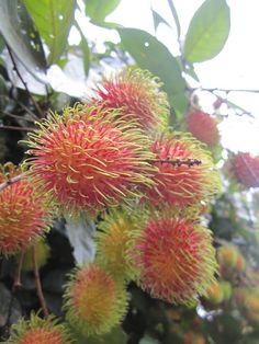 Rambutans ripening on tree