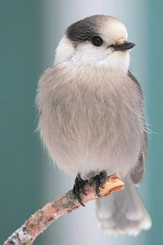 PERFECT CHICKADEE!!