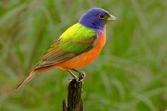 The Painted Bunting.  @Ami Harju...keep looking and maybe you'll see one at your feeder.