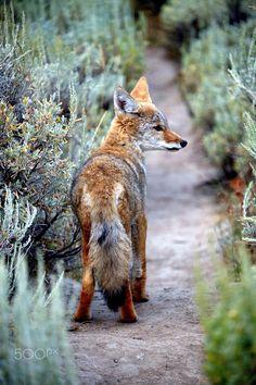 Fox by photogenix