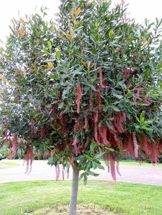 pinkalicious macadamia tree - grows well in Willunga, a fruit tree, colourful flowers, strong single trunk, native, birds and bees love it - into the pot to be considered.