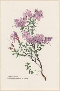 1960 Botanical Print Rhododendron Rhodothamnus by Craftissimo