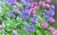 Longwood Blue Caryopteris - Blue Mist Shrub