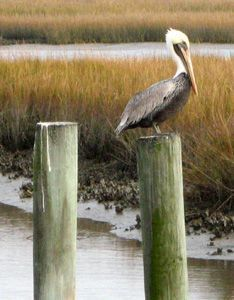 Brown Pelicans, Best Florida Places to See White Pelicans ...