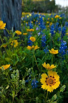 Wildflowers are an annual reminder that Spring has arrived in Texas!  Picture courtesy of TX Hwys. Magazine.