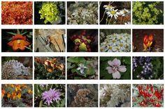 Especies vegetales de Tenerife