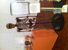 Homo neanderthalensis replica skeleton, Mathers Museum, Indiana University