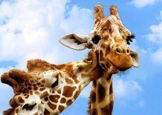 Giraffe love #wildlife