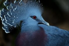 The Blue Crowned Pigeon is considered one of the most beautiful members of the pigeon family. They are found in the rain forests of Indonesia. They are hunted for food and its plumes. Due to ongoing habitat loss, limited range and overhunting in some areas they are known as a threatened species.