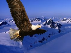 Bald Eagle HD Wallpapers Backgrounds Wallpaper | HD Wallpapers ...