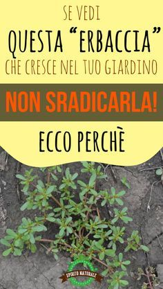 "Se vedi questa ""erbaccia"" che cresce nel tuo giardino, non sradicarla! Wellness Fitness, Health Fitness, Lisa Green, Rotten, Chlorophytum, Flora Garden, Kitchen Witchery, Sr1, Plants Are Friends"