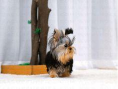Yorkies Puppy List, Terrier Mix Dogs, Yorkies, Backyard Landscaping, Landscape Design, Puppies, Backyard Landscape Design, Cubs, Landscape Designs