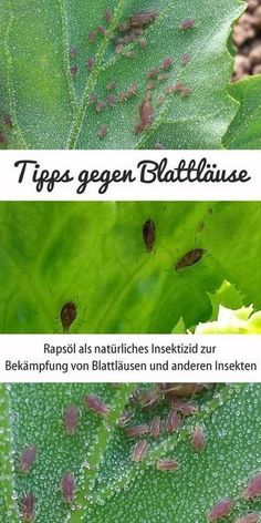 Rapeseed oil for aphids - natural insecticide for vegetable p .- Rapsöl gegen Blattläuse – natürliches Insektizid für Gemüsepflanzen Rapeseed oil can be used as a natural insecticide to control aphids and other insects.