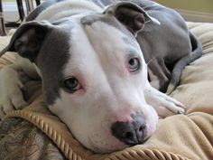 View topic - American Pitbull Terriers Open - Chicken Smoothie