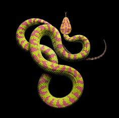Philippine Pit Viper, photo by Mark Laita from Serpentine Les Reptiles, Reptiles And Amphibians, Mamba Noir, Beautiful Creatures, Animals Beautiful, Beaux Serpents, Serpent Venimeux, Snake Photos, Colorful Snakes