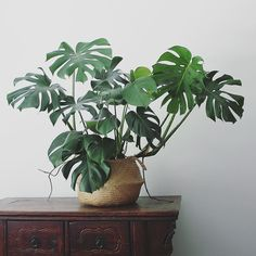 Costela de Adão - monstera deliciosa