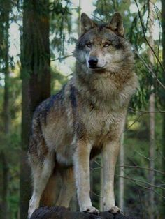 Wolf on Lookout. Long legs, big feet-- built for the long run. Wolf Images, Wolf Photos, Wolf Pictures, Beautiful Wolves, Animals Beautiful, Beautiful Beautiful, Wolf Spirit, Spirit Animal, Tier Wolf