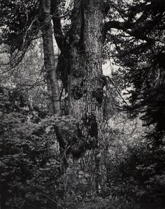 ansel adams - large cottonwood tree, washington, 1958.